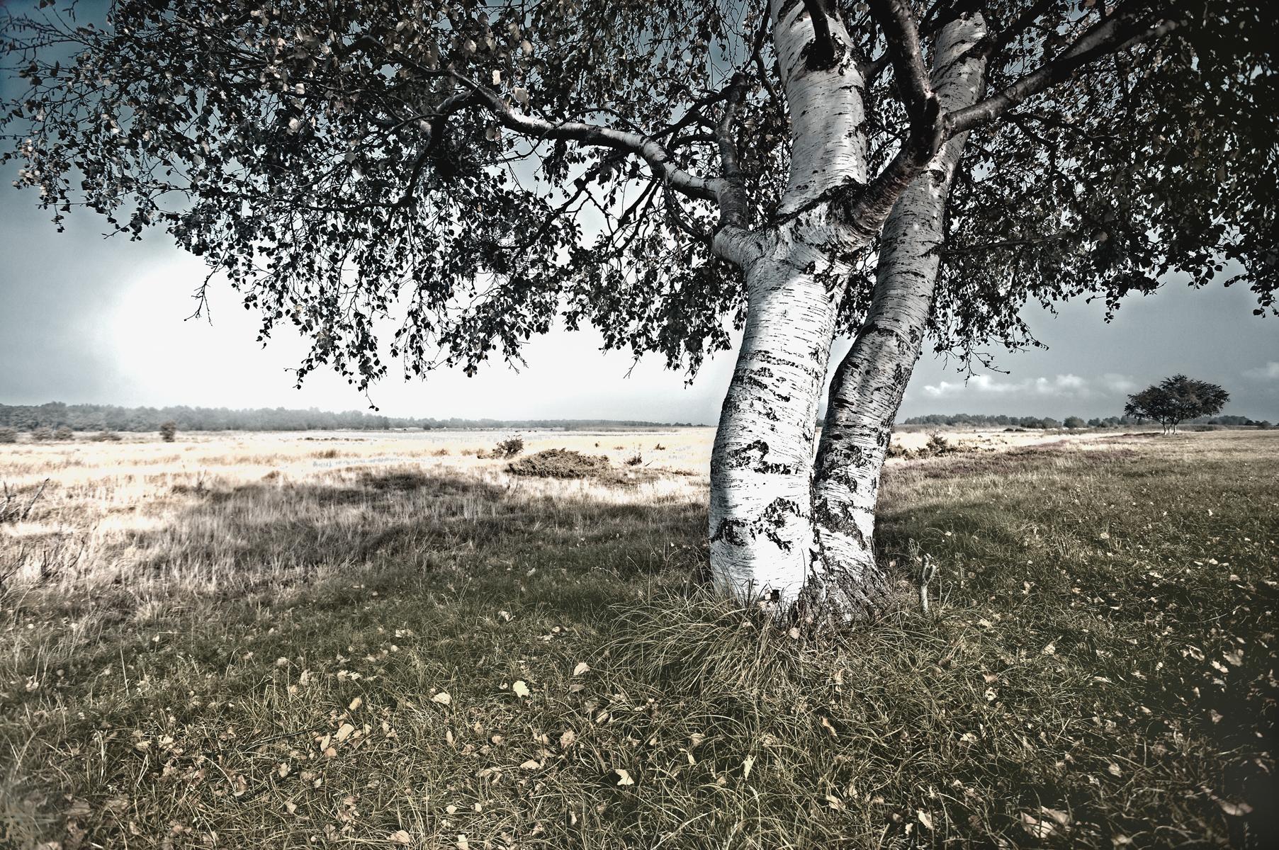 Birke Hiddensee